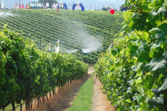 Enovitis in campo: focus su bio, rosati e Puglia vitivinicola