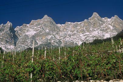 Sostenibilità e produzione integrata, binomio vincente per la viticoltura di montagna